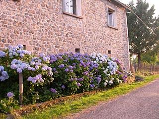 Hydrangea's-Frankrijk
