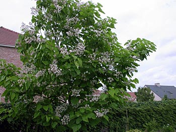 catalpa-in-bloei