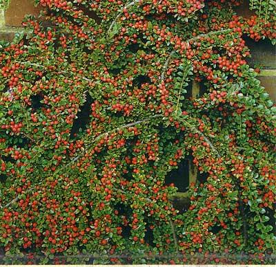 cotoneaster voortuin