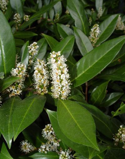 Prunus laurocerasus bloem