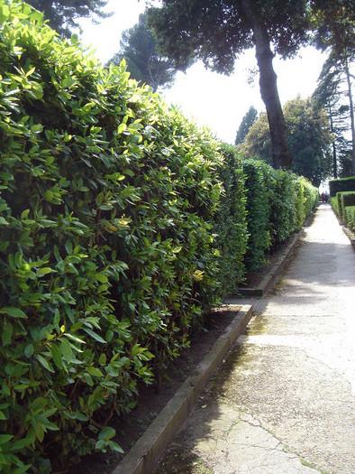 Prunus_laurocerasus_haag