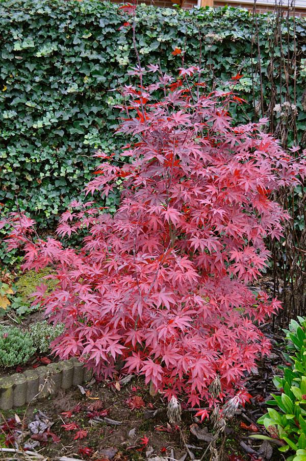 Acer-palmatum-'Bloodgood'