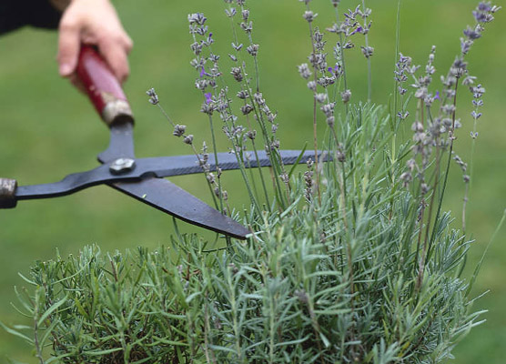 tuin aanleggen blog archive wanneer lavendel snoeien